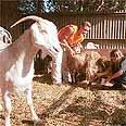 The ultimate anti-terror weapon? A goat (Archive photo) Photo: Hana Kalderon
