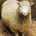 הכבשה דולי. שיבוט ראשון של יונק