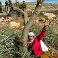The olive tree represents Palestinians and Israelis alike Photo: AP