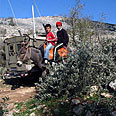 Cut Olive trees (Archive) Photo: AP