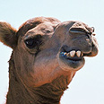 'Camel poked head into barracks' Photo: Visual Photos