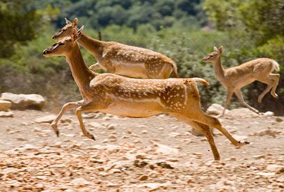 יחמורים בחי בר כרמל (צילום: דורון ניסים, רשות הטבע והגנים)