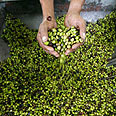 7,630 tons of olives exported in October Photo: Reuters