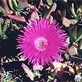 פרוטאה. הפרח הלאומי של דרום אפריקה
