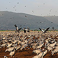 Flock of cranes Photo: David Monsonego