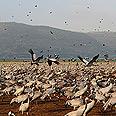 Flock of cranes Photo: David Monsonego