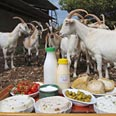 Some 600 goats milked per hour (archives) Photo: Hagai Aharon