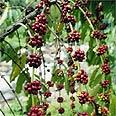 עץ קפה