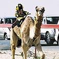 Camel racing in Qatar Photo: AP