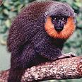 קוף קליסבוס ביערות הגשם