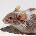 Iran says rats have grown increasingly resistant to rat poison (illustration) Photo: Index Open