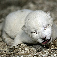White lion cub Photo: Reuters