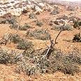 Uprooted olive trees Photo: Nasser a-Nawaj'ah, B'Tselem
