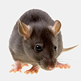 Rat attack Photo: Shutterstock
