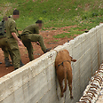 Soldiers rescue calf Photo courtesy of the IDF Spokesperson's Unit