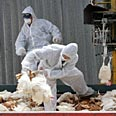 Chickens being culled due to virus last year (archive) Photo: Reuters