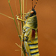 It's Kosher. A grasshopper Photo: Visual Photos