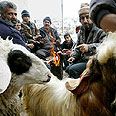 Selecting sheep for holiday, two years ago Photo: Reuters