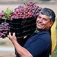 Simhon participates in a grape harvest Photo: Gadi Kabalo