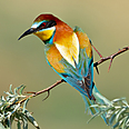 Suspicious chirping? Merops Apiaster Photo: Shutterstock