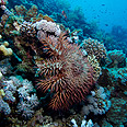 Crown-of-thorns starfish Photo: Shutterstock