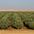 Olive groves Photo: Ezra Tzachor