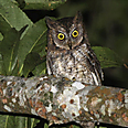 The Rinjani Scops owl