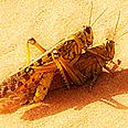 Locusts mating, Saturday Photo: Yael Moskovich