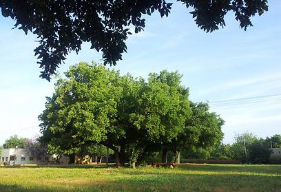 העץ החזק של הגליל. אלון תבור בבית ספר שדה אלון התבור (צילום: זיו ריינשטיין)
