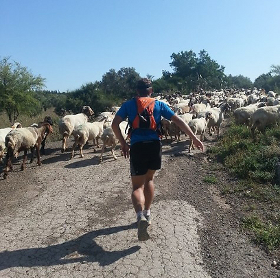 באוסטרליה הוא רץ בין פרות, כאן בין כבשים. בוולס בגליל (צילום: דב גרינבלט)