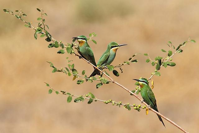 שרקרקים ירוקים בדרום הארץ (צילום: חררדאו קוללאו)