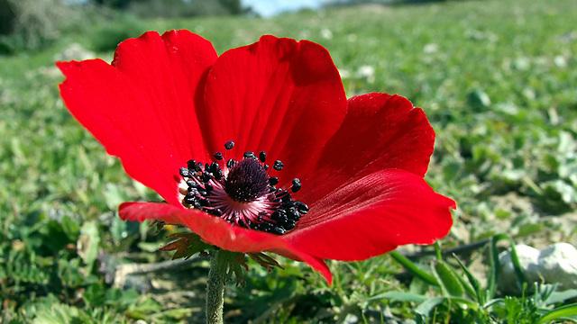 קבלו מאת הפרח הלאומי של ישראל - כלנית מצויה (צילום: שרה גולד)