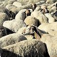 הכבשים יאבקו בעשבייה צילום: חורחה נובומינסקי