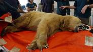 Syrian bear undergoes surgery at Ramat Gan Safari Photo: Reuters