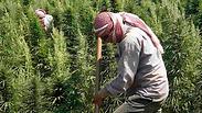 Cannabis farmers in Lebanon Photo: Reuters