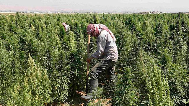 Cannabis farmers in Lebanon (Photo: Reuters)