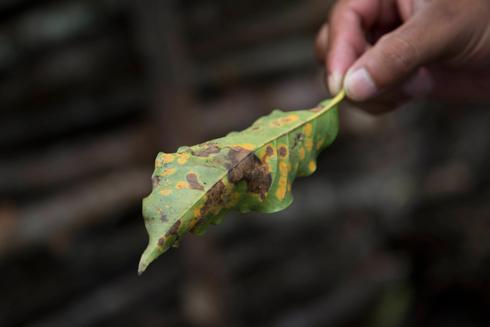 כתמים על עלה פגוע (צילום: AP)