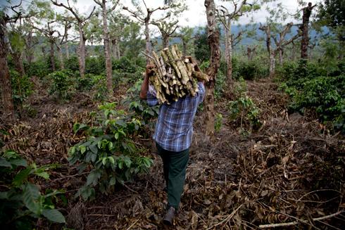 מגדל קפה בגואטמלה. קוטלי הפטריות לא עוזרים (צילום: AP)