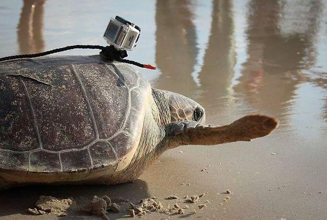מרשמלו עם מצלמה על השריון (צילום: דליה חלפון, מתנדבת במרכז הצלת צבי הים) (צילום: יניב לוי, רשות הטבע והגנים)