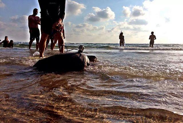 עוד רגע היא במים העמוקים (צילום: ליאור בן סימון, מתנדב במרכז להצלת צבי הים) (צילום: יניב לוי, רשות הטבע והגנים)