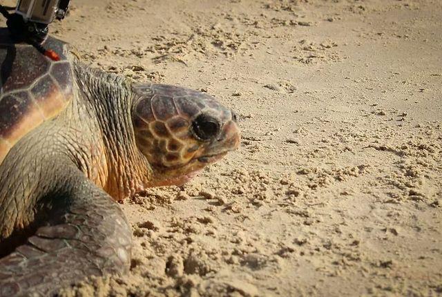 צילום: דליה חלפון, מתנדבת במרכז הצלת צבי הים (צילום: יניב לוי, רשות הטבע והגנים)