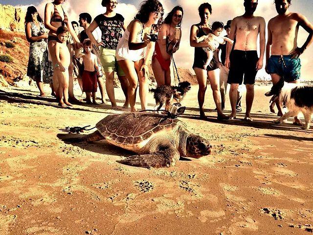 בדרך לים. השבוע בחוף גדור (צילום: ליאור בן סימון, מתנדב במרכז הצלת צבי הים) (צילום: יניב לוי, רשות הטבע והגנים)