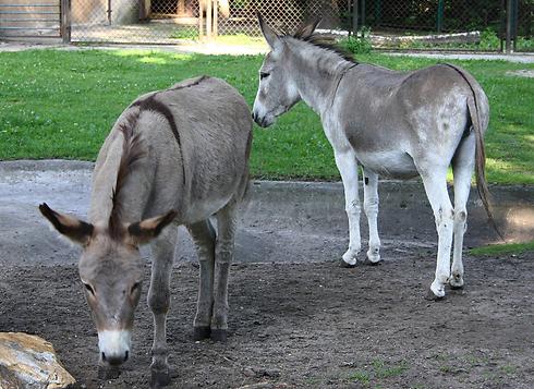 אנטוסיה (מימין) ונפוליאון  (צילום: AP)