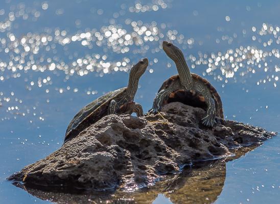 """צבי ביצה. באחת השלוליות של נהר הירדן  ליד """"גשר אריק"""", נתקלתי בזוג צבי ביצה משתזפים (צילום: אודי פפו)"""