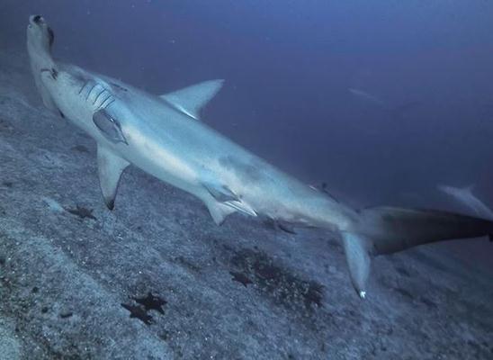 כריש פטיש. צולם בצלילה בבאיי גלפגוס לפני מספר חודשים (צילום: אנדראס קוניג)