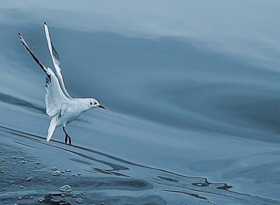 בלט על המים. שחף בים  (צילום: דן חן)