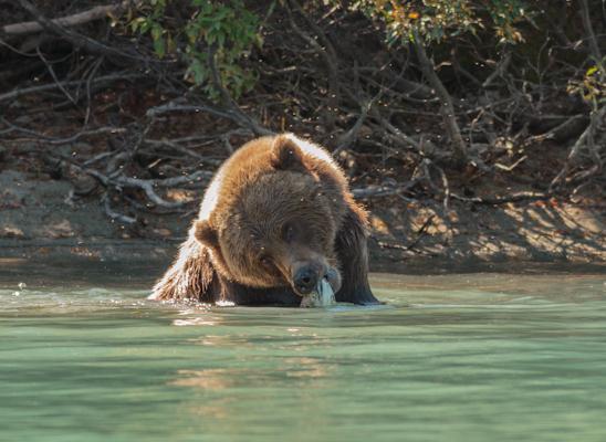 לראות דוב גריזלי דג דג בטבע באלסקה, זאת בהחלט חוויה בלתי נשכחת (צילום: יגאל עוז)