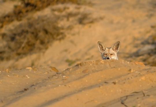 שועל מצוי מציץ עליי מבעד לגבעת חול קטנה. היתה לי תחושה שעוקבים אחריי (צילום: מורדי חוטובולי)