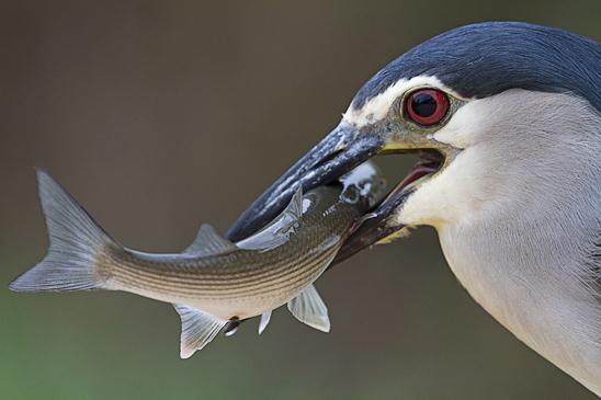 המתנה דרוכה במשך זמן רב עד שהאנפת הלילה תתפוס דג (צילום: משה פרגר)
