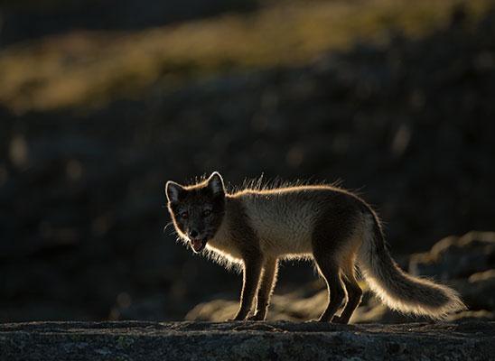 אחרי חצות. שועל ארקטי בסבלברד הגיע בריצה ממרום הגבעה, עצר לרגע והישיר מבט למצלמה (צילום: עדית מרקין)